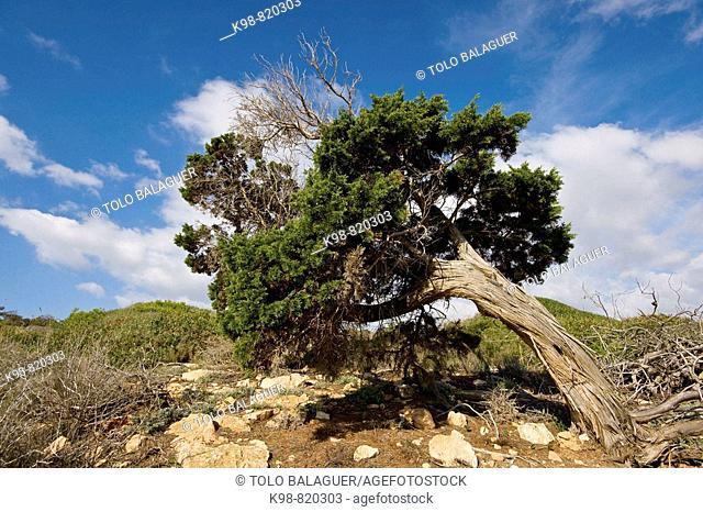 Wind bended juniper (Juniperus phoenicea), Es Codol Negre, Ses Salines. Majorca, Balearic Islands, Spain