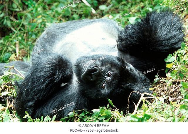 Mountain Gorilla silverback Volcano national park Rwanda Gorilla gorilla beringei