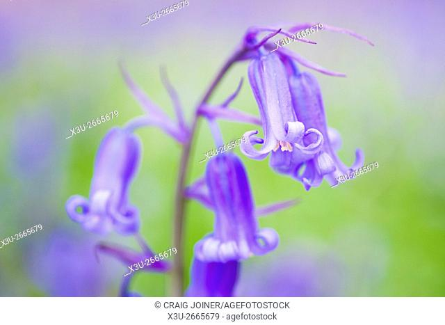 Close-up of bluebells in an English woodland