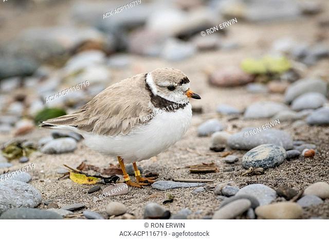 Piping Plover (Charadrius melodus) adult, Darlington Provincial Park, Ontario, Canada (Endangered Species)