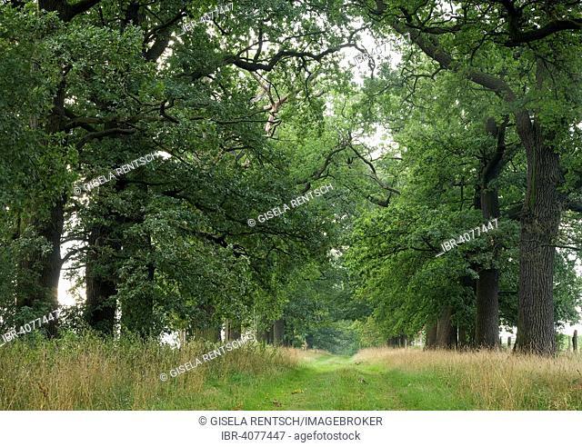 Oak alley in Beberbeck, Hesse, Germany