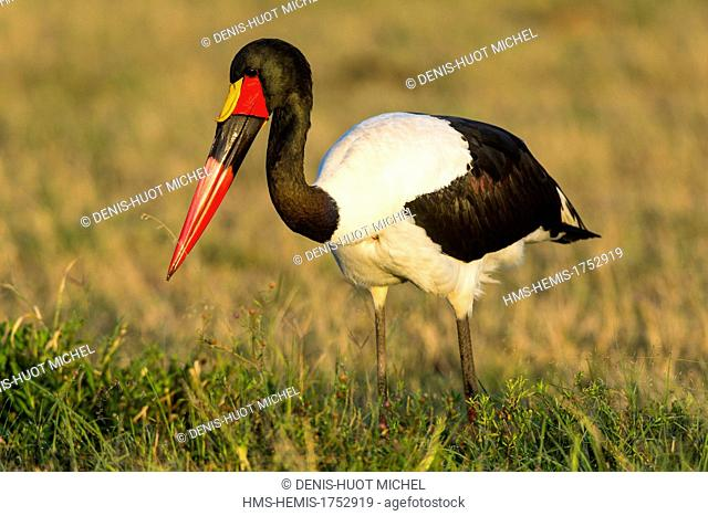 Kenya, Masai-Mara game reserve, Saddle-billed stork (Ephippiorynchus senegalensis), male