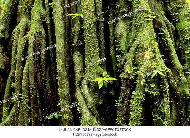 Palm (Iriartea sp.). Amazon Forest. Manu National Park. Peru
