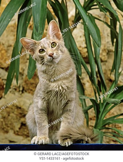 ORIENTAL LONGHAIR DOMESTIC CAT, ADULT SITTING NEAR GREEN PLANT