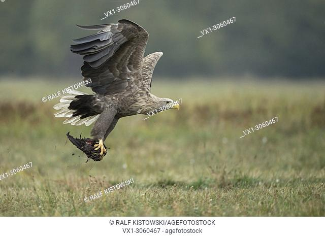 White-tailed Eagle / Sea Eagle (Haliaeetus albicilla) old adult in flight, taking off, carrying carrion in its huge talons, food opportunist, wildlife, Germany