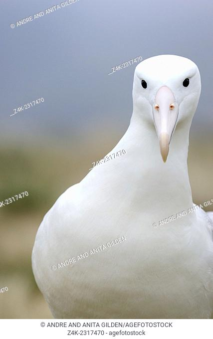 Southern Royal Albatross (Diomedea epomophora) portrait, looking at the camera, sub-antarctic Campbell island, New Zealand