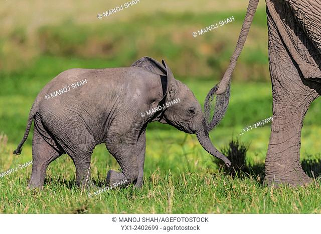 Elephant baby following closely mother's hind legs