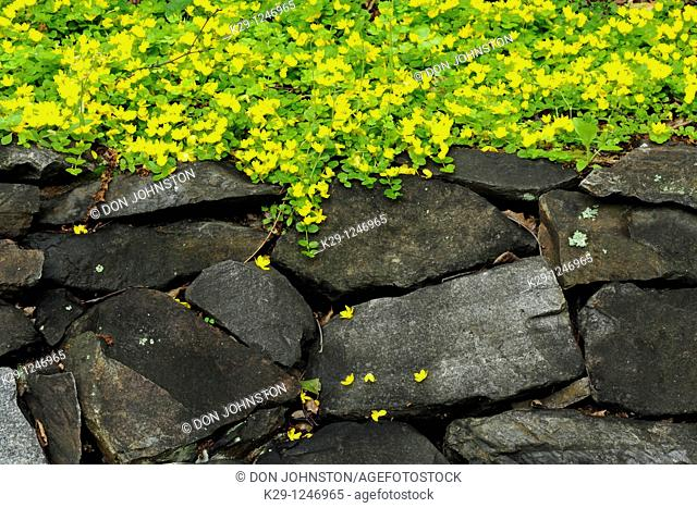 Creeping Jenny or Moneywort Lysimachia Nummularia on rock wall