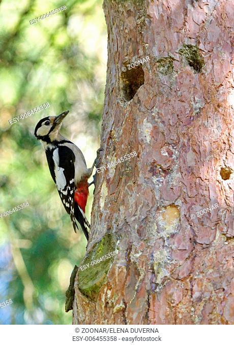 Hairy woodpecker, picoides villosus next to its hole nest