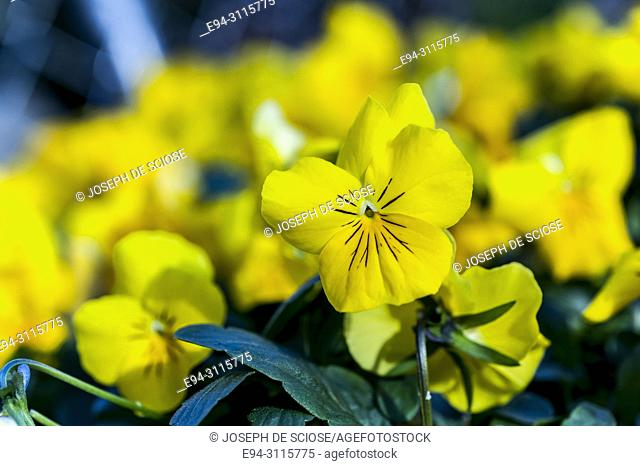 Close up of yellow pansies, annual garden display plants