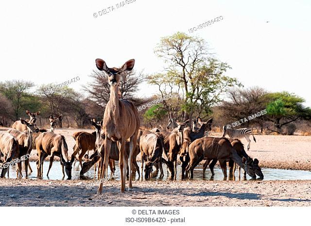 Greater kudu (Tragelaphus strepsiceros), at waterhole, Kalahari, Botswana, Africa