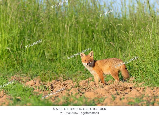 Red Fox (Vulpes vulpes) on Maize Field, Hesse, Germany, Europe
