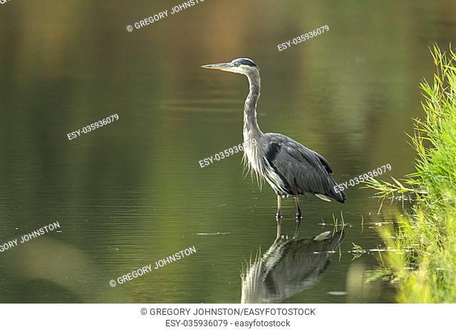 A beautiful great blue heron wades in the calm water near Hauser, Idaho
