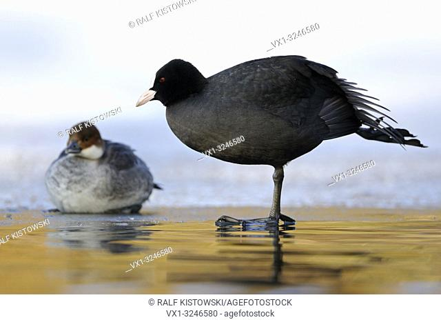 Eurasian Coot / Blaessralle (Fulica atra) and Female Smew / Zwergsaeger (Mergellus albellus), next to each other, size comparison, in winter, funny pose