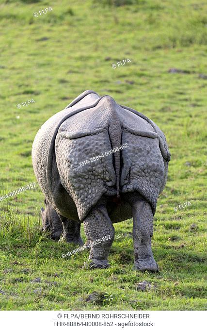 Indian rhinoceros (Rhinoceros unicornis), adult grazing, back view, Kaziranga National Park, Assam, India, April