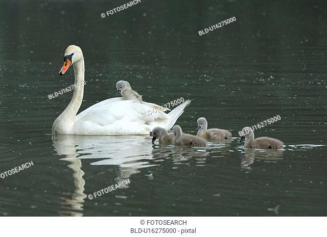 duck, biddy, cygnus, child, bird, family, animal