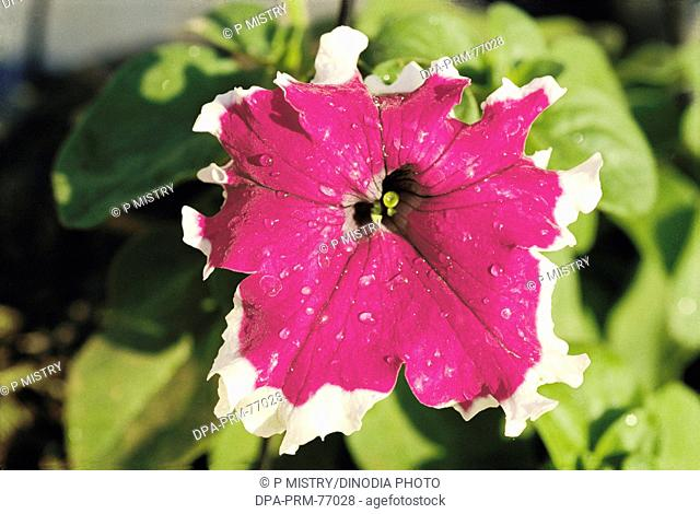 One violet color Petunia flower in a garden , India