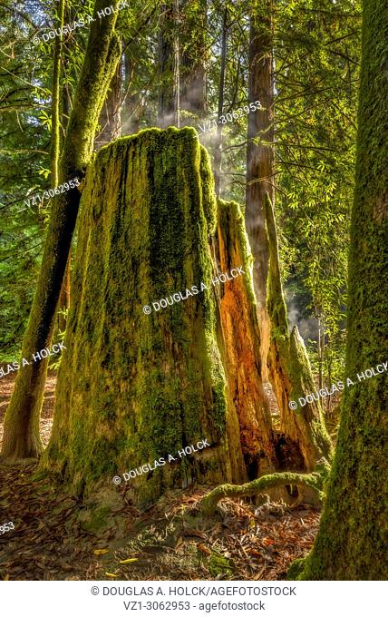 Redwood Forest Glow and Evaporation in Navarro River Redwoods State Park Mendocino Coast