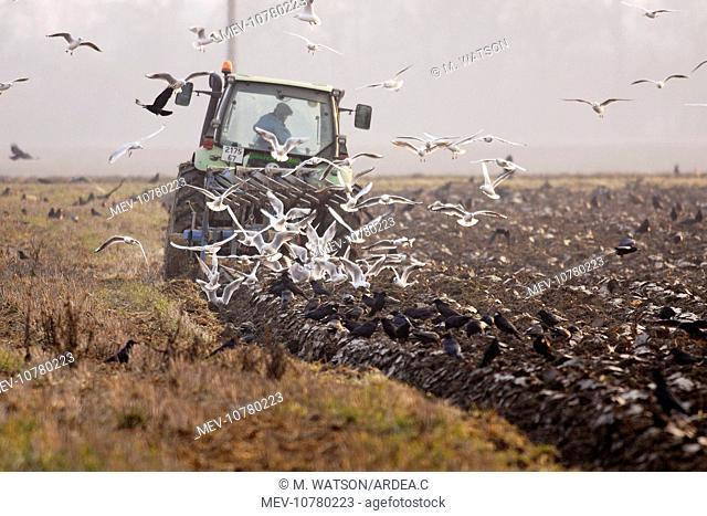 Tractor - ploughing field with Black-headed Gulls and Rooks following (Corvus frugilegus) (Larus ridibundus)