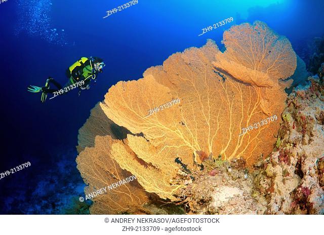 Diver looking at Venus fan, Venus sea fan, common sea fan, West Indian sea fan or purple gorgonian seafan (Gorgonia flabellum). Red sea, Egypt, Africa