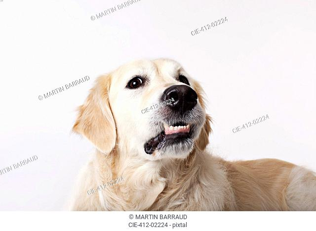 Close up of dog's growling face
