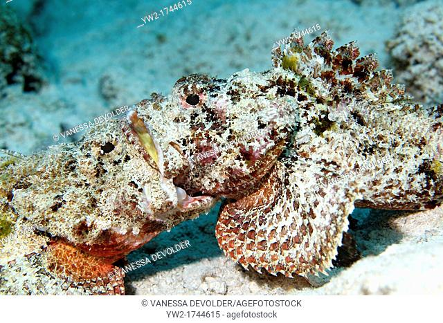 Two scorpionsfishes in the Caribbean Sea, Dutch Antilles