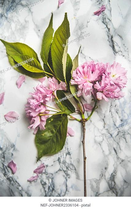 Pink blossoms on grey background