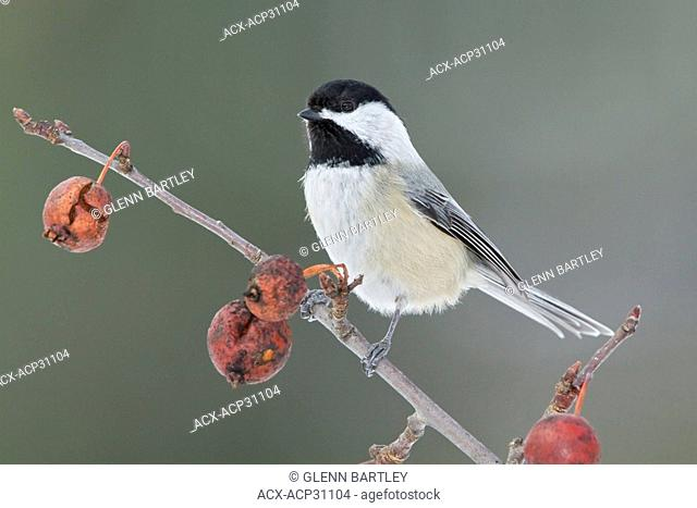 Black-capped Chickadee Poecile atricapillus perched on a branch