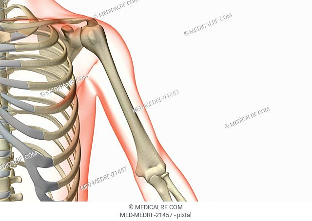 Upper arm bones Stock Photos and Images | age fotostock