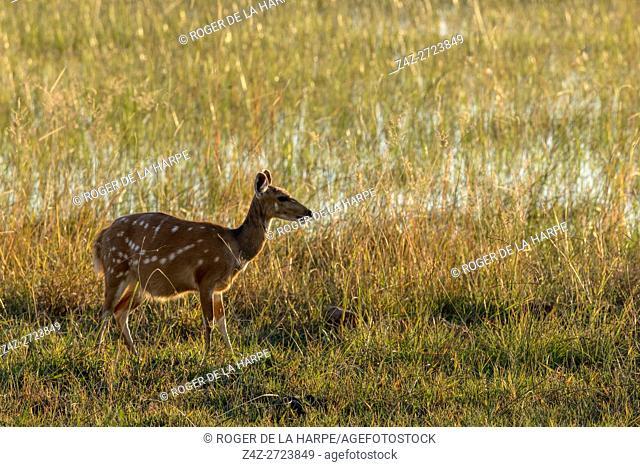 Bushbuck (Tragelaphus sylvaticus) female. Okavango Delta. Botswana