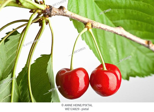 pair of cherries with leaves hanging on a twig, studio shot on white back