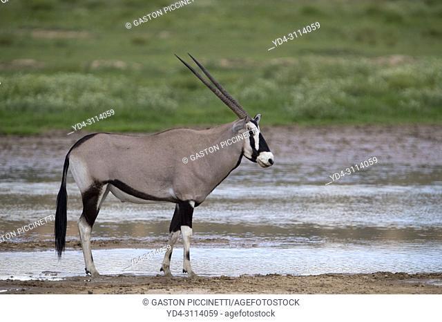Gemsbok (Oryx gazella), in the waterhole Kgalagadi Transfrontier Park, Kalahari desert, South Africa/Botswana
