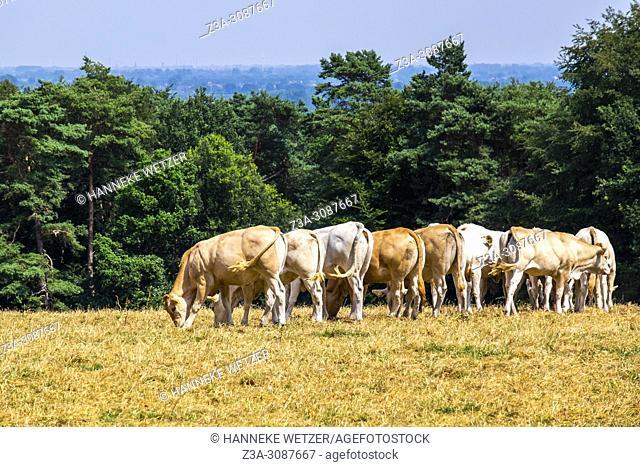 Berg en Dal, Netherlands. Grazing cows in a meadow