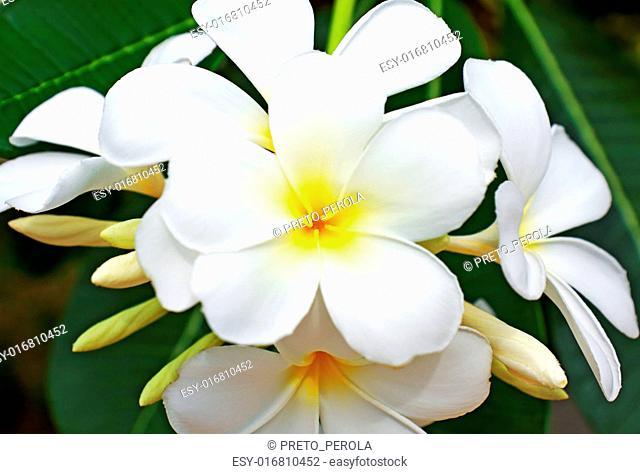 beautiful white frangipani flowers on dark background