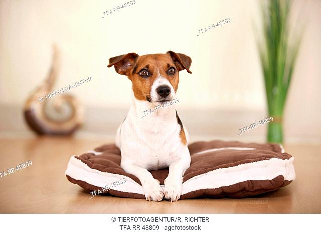 lying Jack Russell Terrier