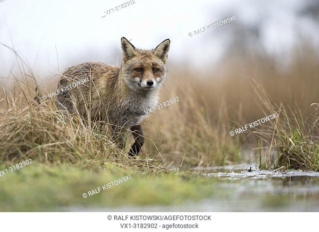 Red Fox ( Vulpes vulpes ) at the edge of a body of water, hunting in marshland, watches attentively, impressive low point of view