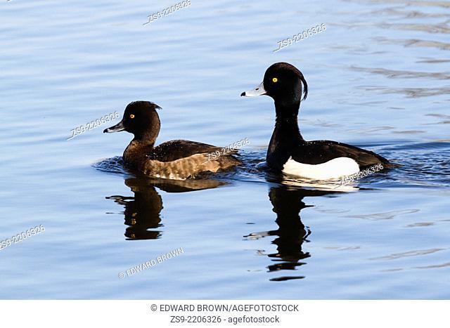 Pair of Tufted ducks - Aythya fuligula swimming, Sevenoaks, Kent, England, UK