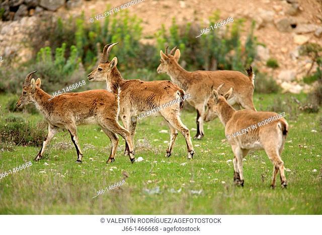 Ibex Capra pyrenaica, Xiva group of Morella. Domain. Castellón. Spain
