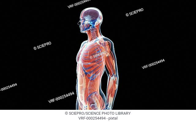 Anatomy of the upper body, animation