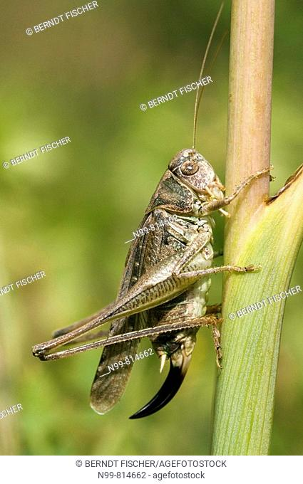 Grey bush cricket (Platycleis albipunctata), family bush crickets, dry meadow, Alsace, France