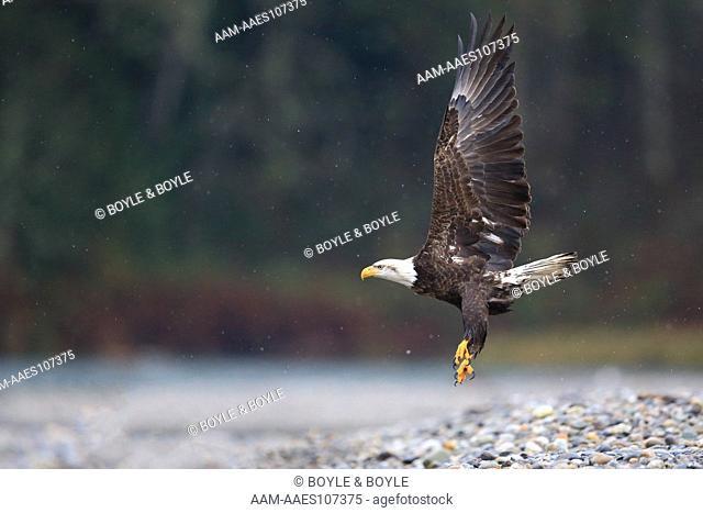 Bald Eagle, (Haliaeetus leucocephalus) take off, Skagit River, WA, USA (Digital Capture)