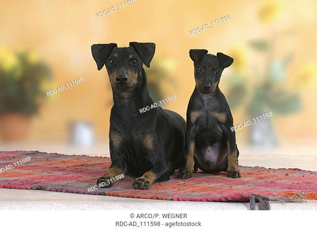 Manchester Terrier with puppy 8 weeks