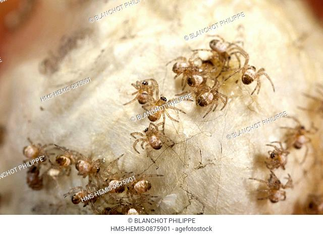 France, Bretagne, Araneae, Araneidae, Orb-weaving spider, Argiope hornet or Banded Epeira (Argiope bruennichi), young spiders on their cocoon