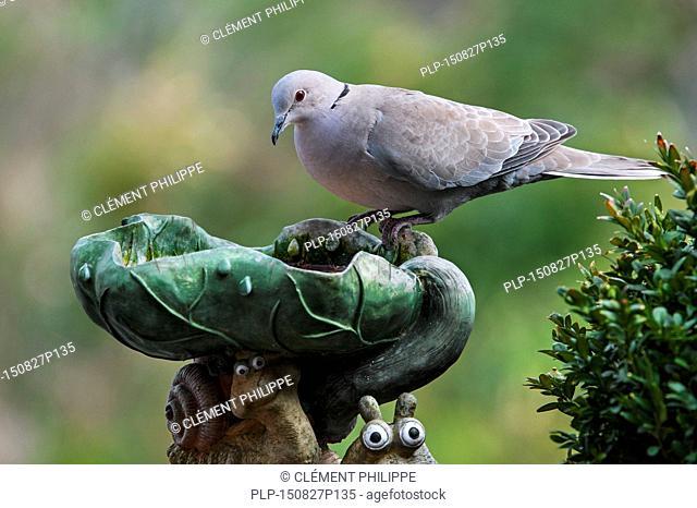 Eurasian Collared Dove (Streptopelia decaocto) drinking water from garden bird bath