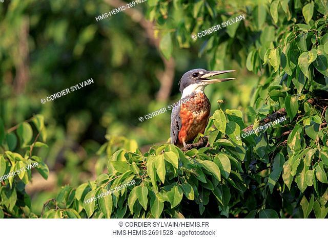 Brazil, Mato Grosso, Pantanal area, Ringed Kingfisher (Megaceryle torquata)
