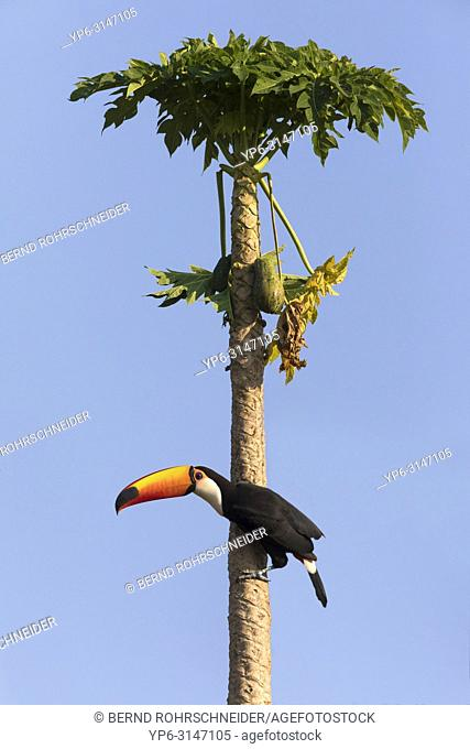 Toco toucan (Ramphastos toco), adult on palm tree, Pantanal, Mato Grosso, Brazil