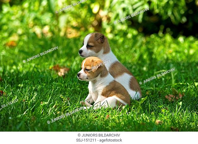 two half breed dog puppies on meadow restrictions: animal guidebooks, calendars