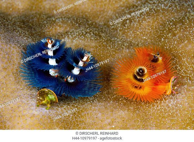 Colored Christmas Tree Worm, Spirobranchus giganteus, Kai Islands, Moluccas, Indonesia