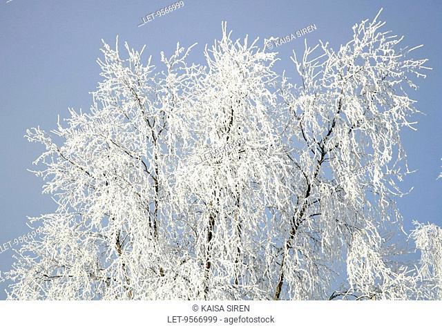 Snowcovered birch trees
