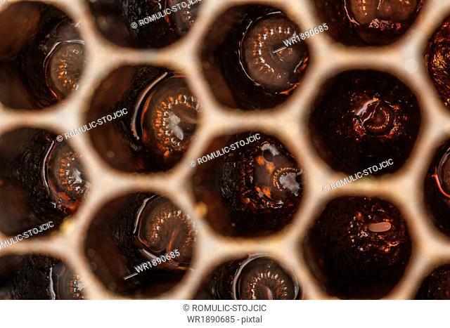 Honey Bee hive showing larvae (Apis mellifera),Croatia, Europe